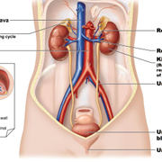 Physiology 1 : renal
