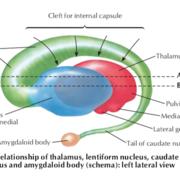 Neuroanatomia - Núcleos da base