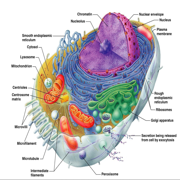 cellbiologi