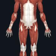 Regional Muscular Anatomy