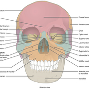 Group 6A Revision Head, Face & Neck Anatomy