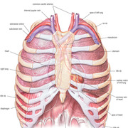 Group 6D Revision Thorax Anatomy