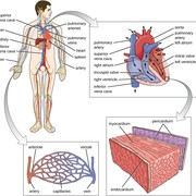 Group 6K Circulatory System
