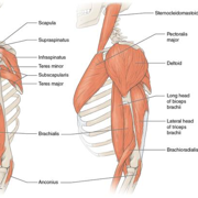 Physiology 2 : Musculo-Skeletal