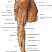 Year 2 LCRS Anatomy Limbs