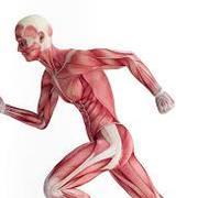 Système nerveux et musculo II