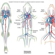 Komparativ anatomi