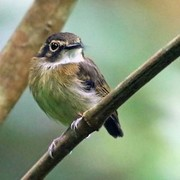 Birds of Brazil's Atlantic Rainforest