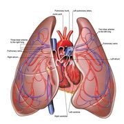 cardiovascular and respiratory diseases