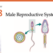 Male Reproductive System Terms (A-H)
