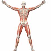 K2 - Bevægeapparatet og bloddannende organer