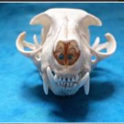 Vet Anatomy I - Osteology