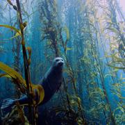 Kelp(Ryk Protista)