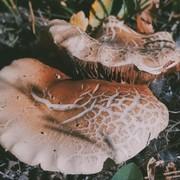 Rhizopus Stolonifer(Ryk Fungi)