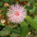 Rosalia Mimosa Cababa