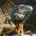 Anonimowa iguana