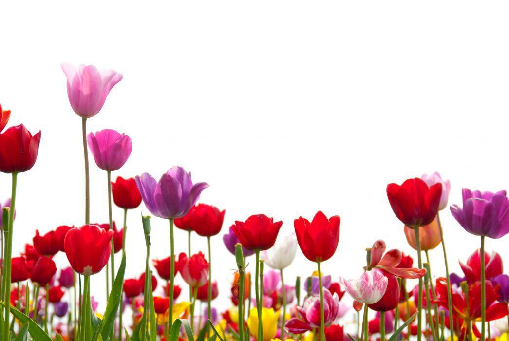 Happy Tulips on White