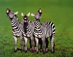 Zebras%20laughing-medium