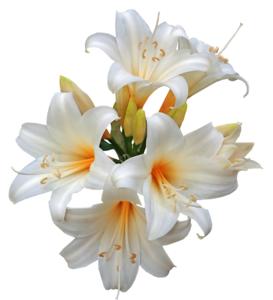 Easter-lily-medium