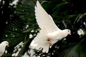Dove-in-flight-medium