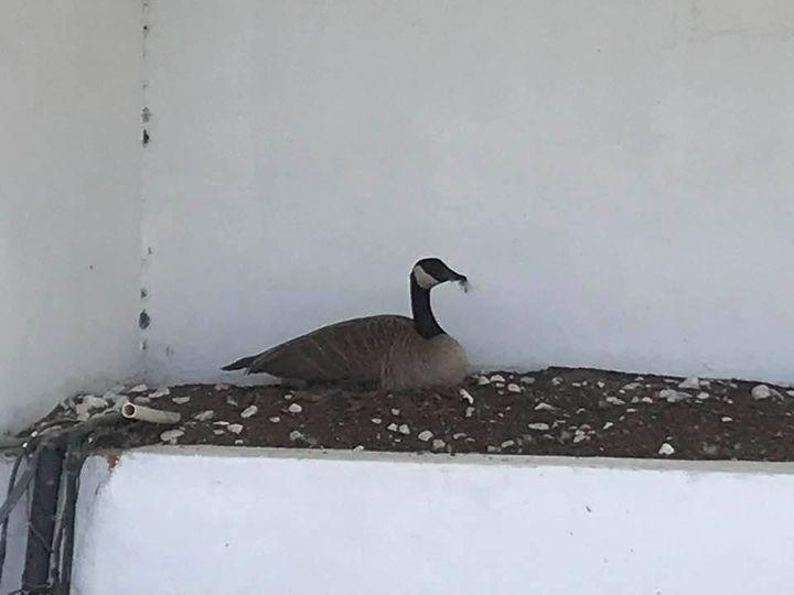 Victory goose 1 original