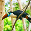 White_throated_toucan_img_2397-edit-thumb