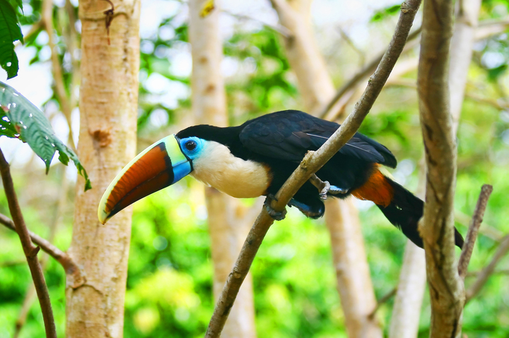 White_throated_toucan_img_2397-edit-web