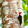 Red%20headed%20woodpecker-thumb