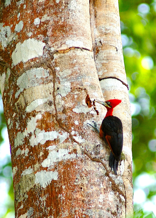 Red%20headed%20woodpecker-web