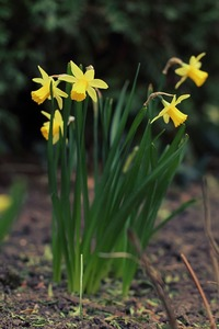 Daffodil-698158_960_720-medium