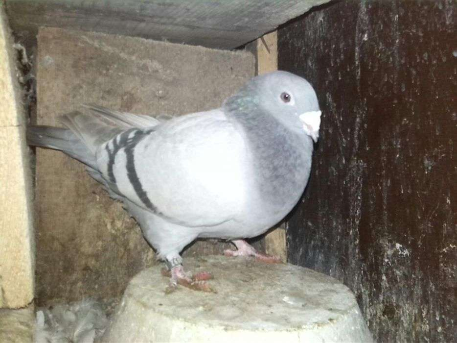 Porumbei Standard