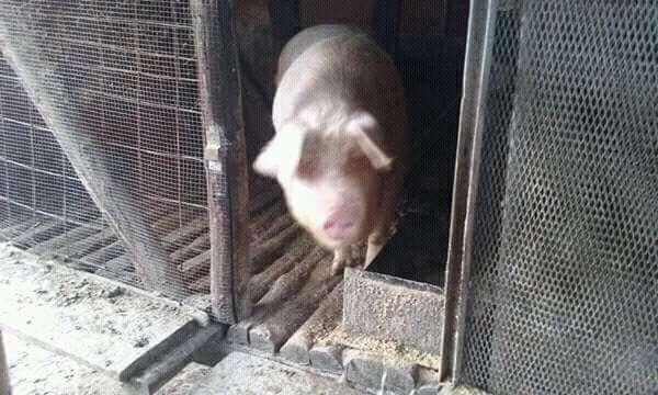 Porc Aprox.270kg Crescut La Curte , 8 Lei / Kg