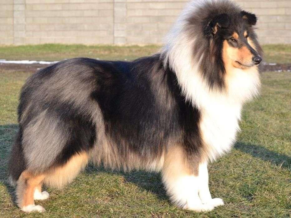 Collie Rough (Lassie)