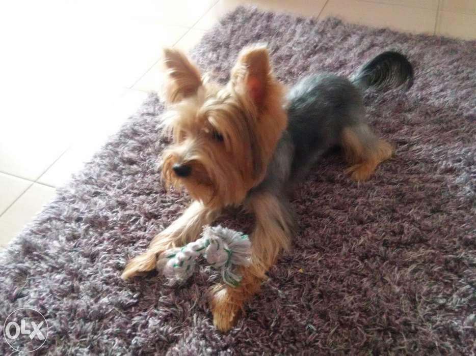 Ofer Spre Monta Yorkshire Terrier