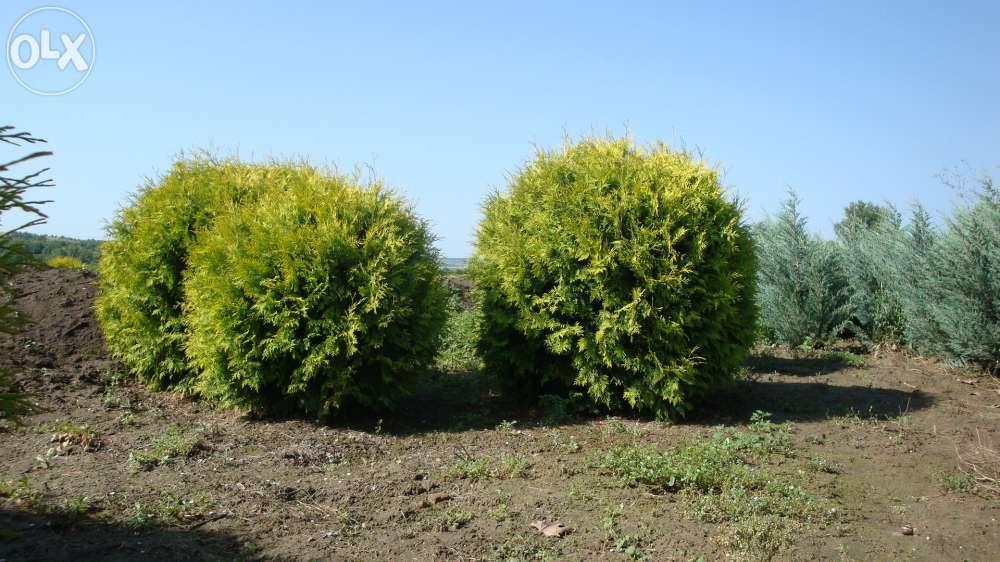 Vand tuia plante ornamentale conifere arbori arbusti for Plante ornementale