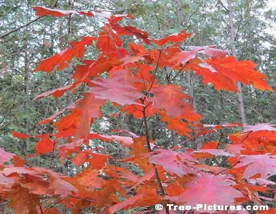 Puieti Stejar Rosu