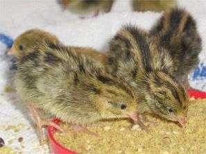 Prepelita (oua,pui,tineret,furaj)