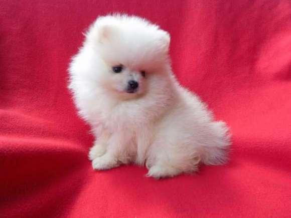 Pomeranian Mini Toy