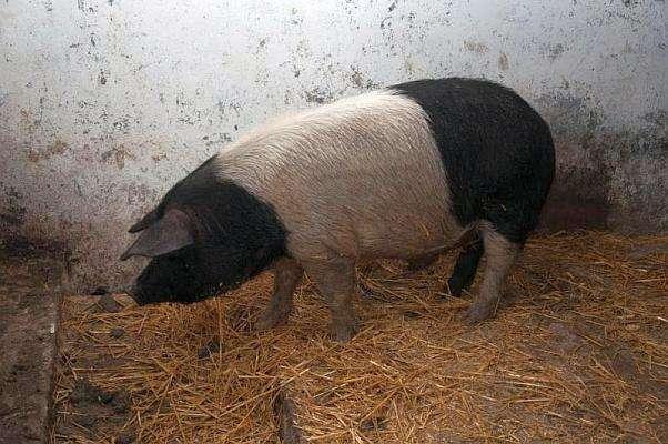 Porc Bazna