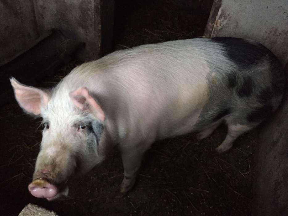Porc Crescut La Tara