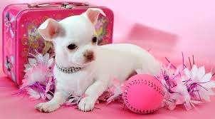 Pui De Chihuahua Pentru Adopție
