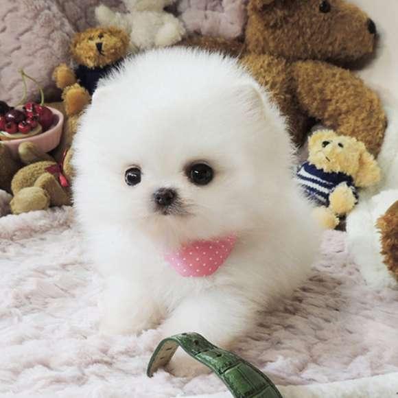 Pomeranian Pui De A Da Orice Familie Minunat.