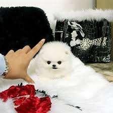 Ponei Frumoase Pomeranian Disponibil Pentru Adoptare