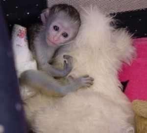 Minunat Maimuță Capucină Minunată Pentru Adopție