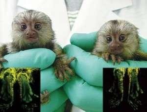 Maimuțe Marmoset Masculine și Feminine Disponibile