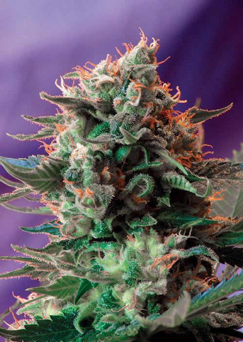 Sweet Seeds - Jack 47
