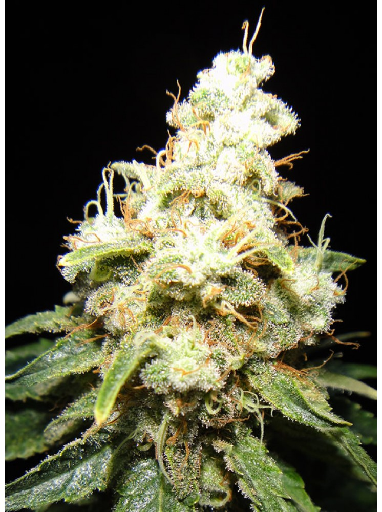 Makka Seeds - Wacky widow (x1)