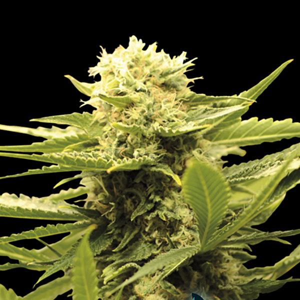 Eva Seeds - Black Dream Fem