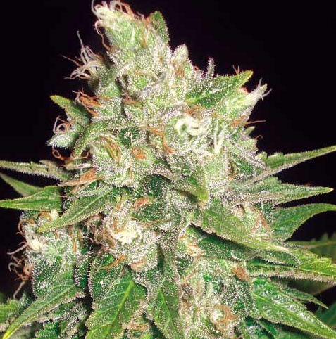 World of Seeds - Mazar x White Rhino (3u)