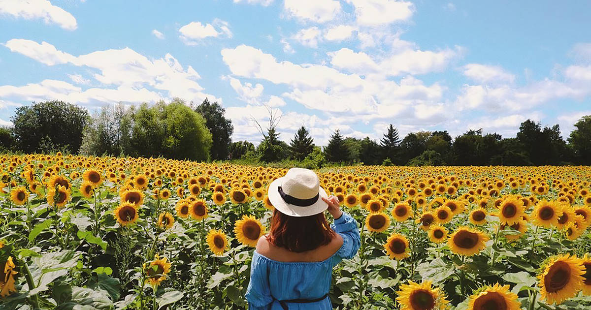 Sunflower farms are starting to reopen around Toronto